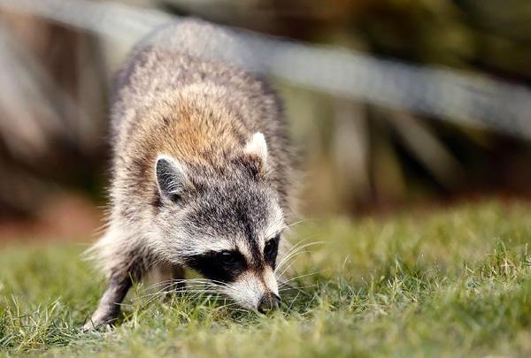 В Чикаго владельцев собак и кошек предупредили об опасности «зомби-енотов»