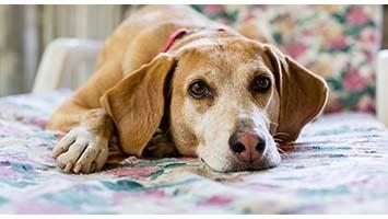 Согласно опросу, собаки стареют быстрее, чем владельцы это понимают