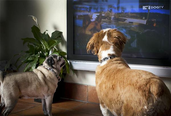 Телеканал для собак DogTV Unleashed теперь доступен по всему миру