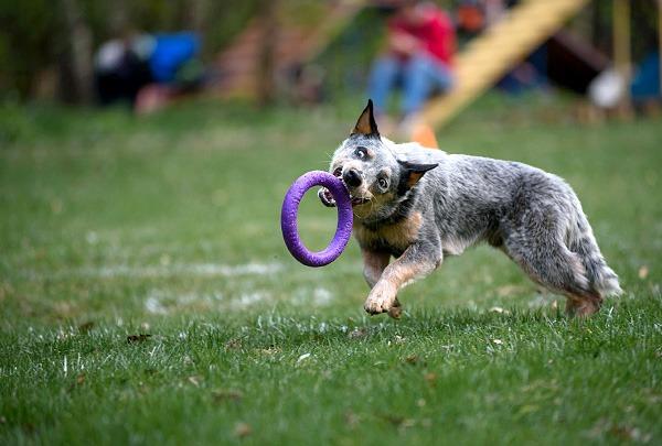 Состоялся виртуальный Международный чемпионат Dog Puller